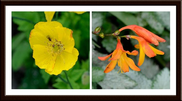 Welsh poppy and crocosmia