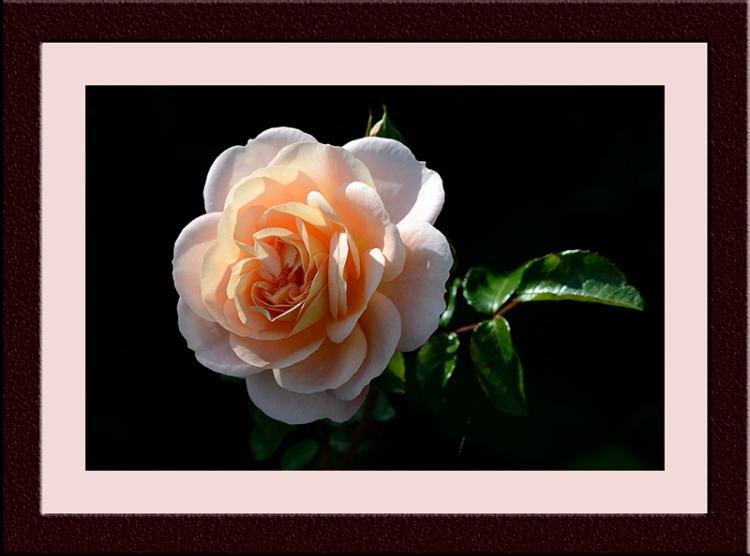 rose The Wren