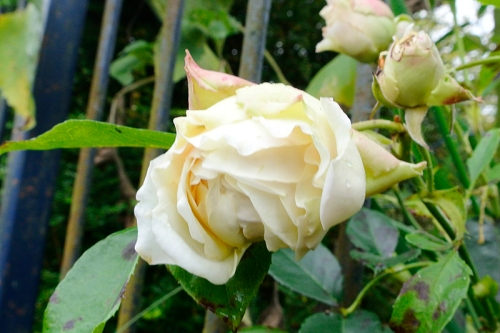 ginger syllabub rose
