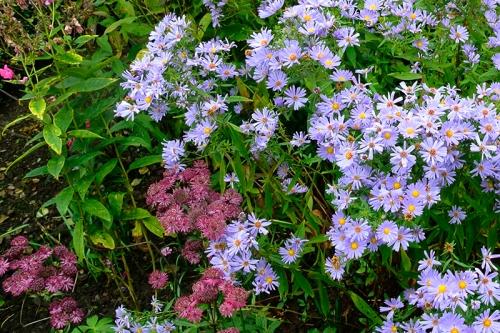 daisies and astrantia