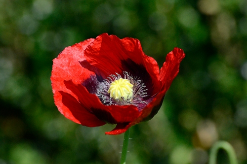 flower red poppy