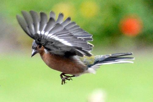flying chaffinch (10)