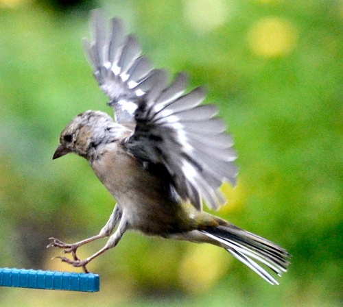 flying chaffinch (4)