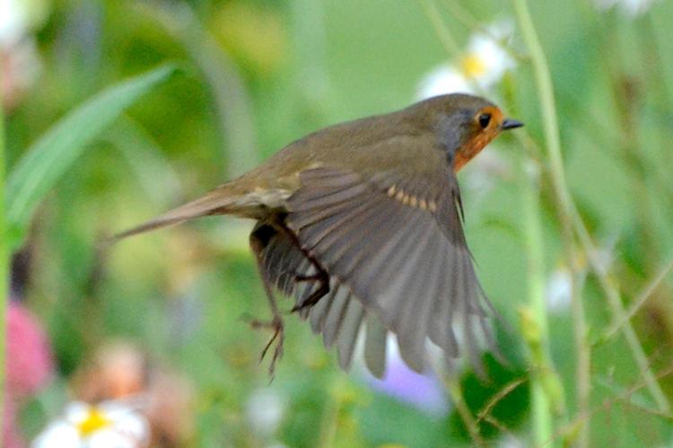flying robin