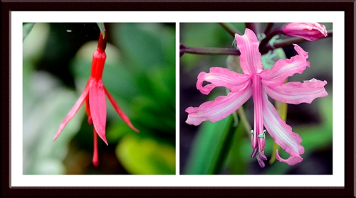 fuchsia and nerine