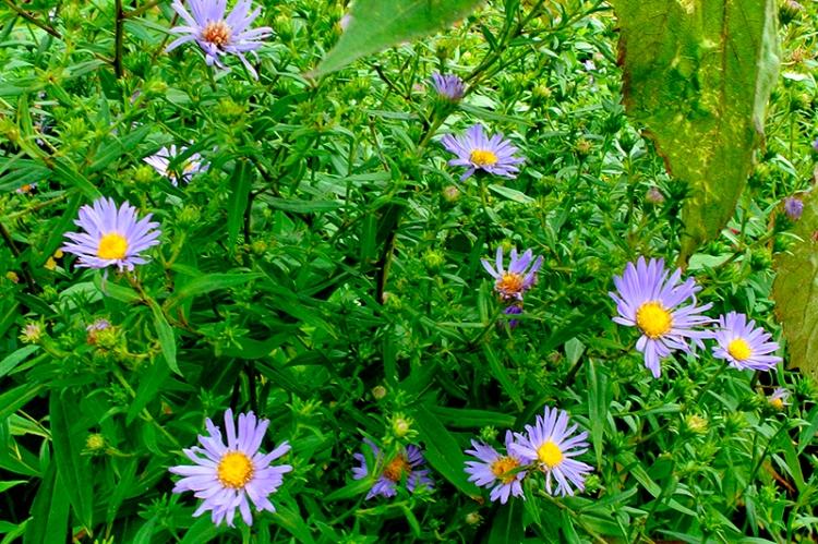 garden michaelmas daisies
