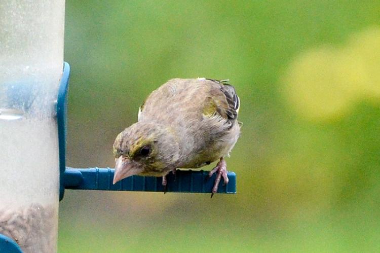 greenfinch peering