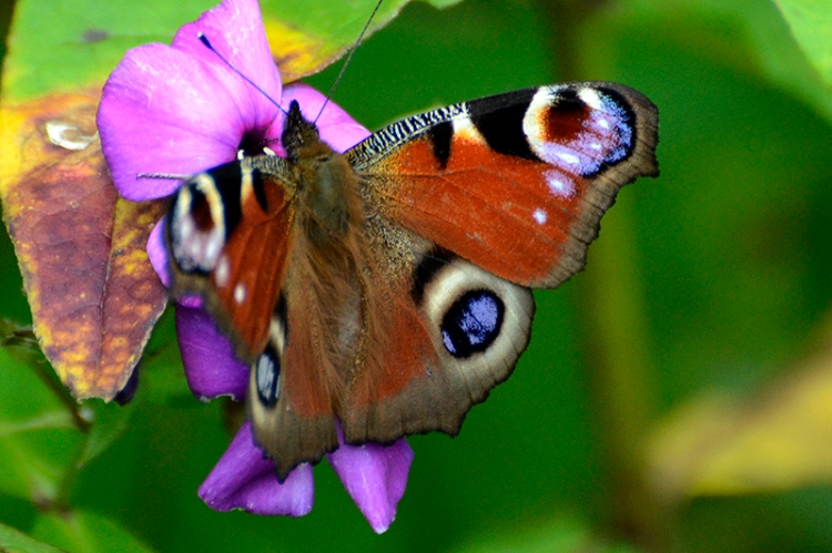 peacock butterfly (2)
