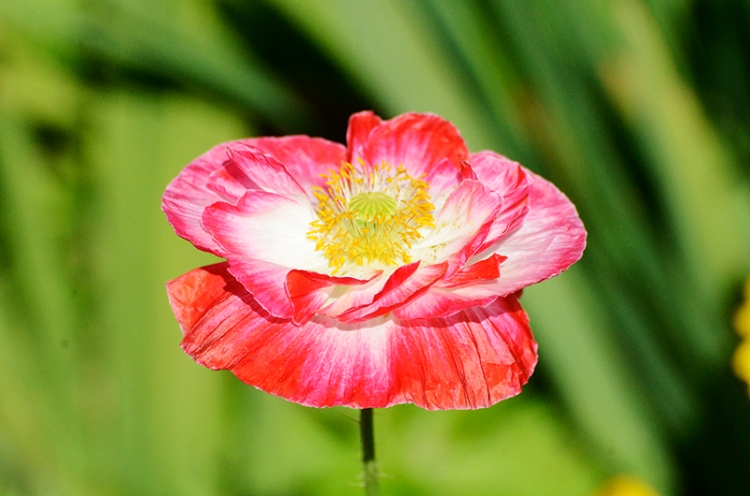 Another of the very pretty poppies has popped up