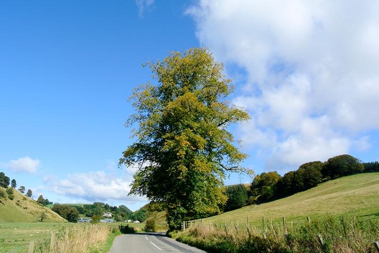 roadside tree
