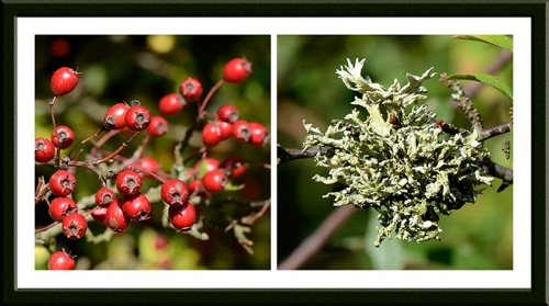 berries and lichen