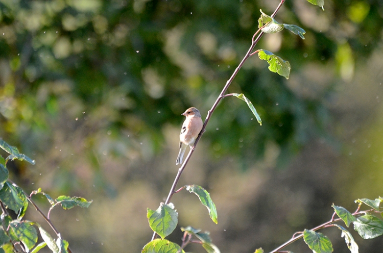 chaffinch and flies