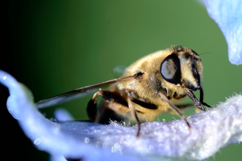 insect on delphinium