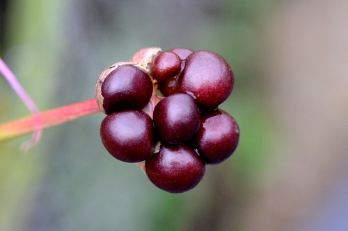 nerine berries
