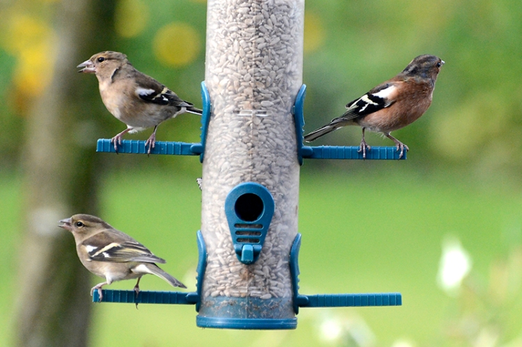 chaffinches keep watch