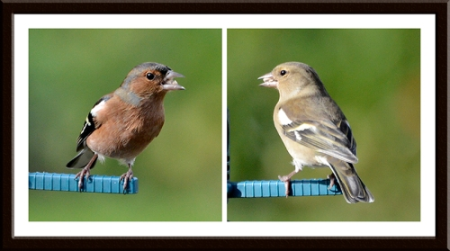 chaffinches posing