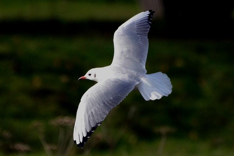 blackheaded gull
