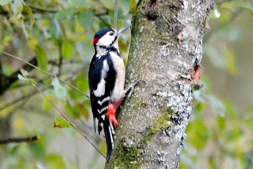 Eskrigg woodpecker