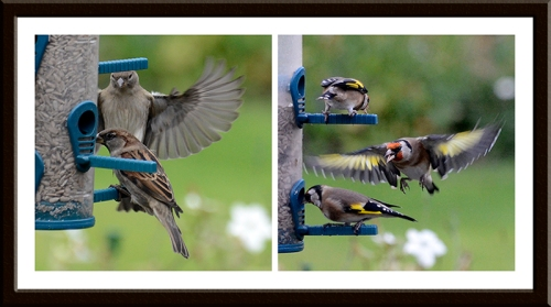 A chaffinch arrives diffidently but a goldfinch arrives with all guns blazing.