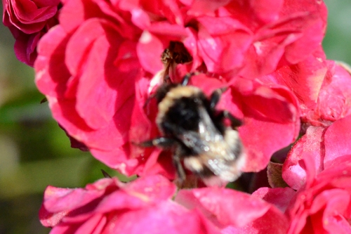 rambler rose with bee