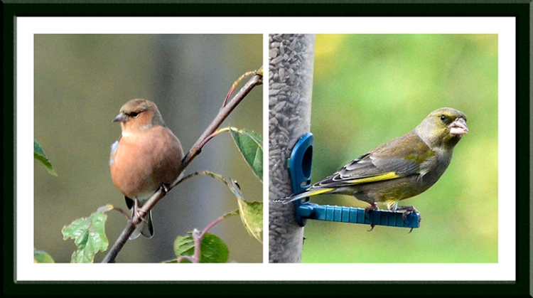 chaffinch and greenfinch