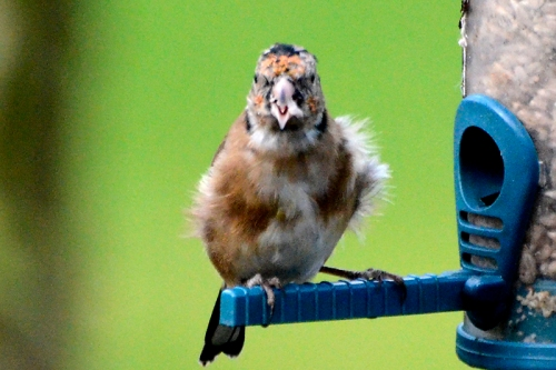 scruffy goldfinch