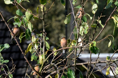chaffinches perching in plum tree