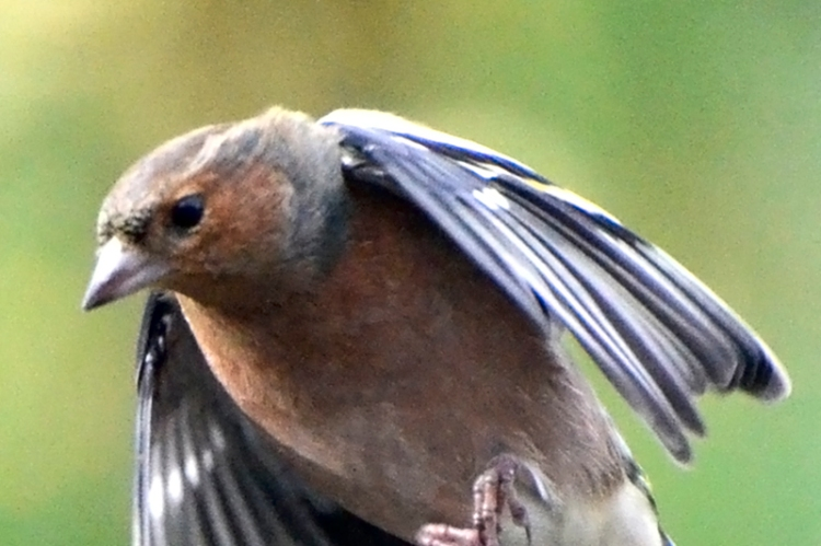 chaffinch arriving