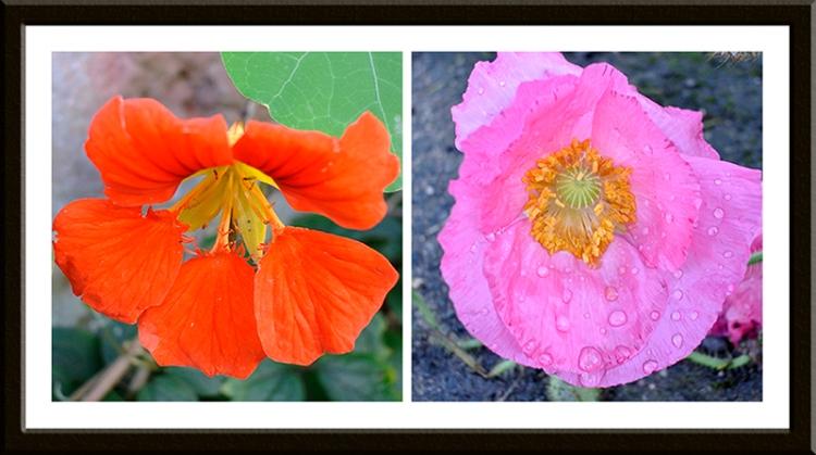 nasturtium and poppy