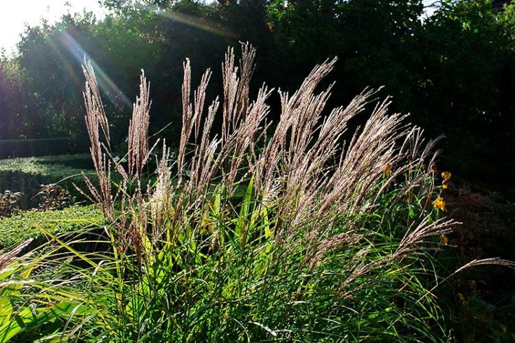 Silver Feather Grass