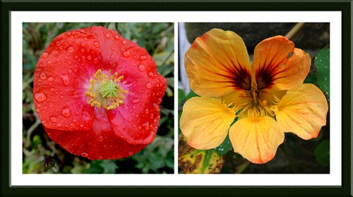 poppy and nasturtium