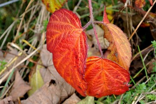 bramble leaf