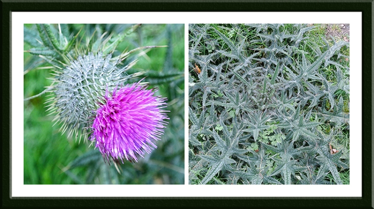 We saw a late thistle and the groundwork being laid for next year's crop beside it/