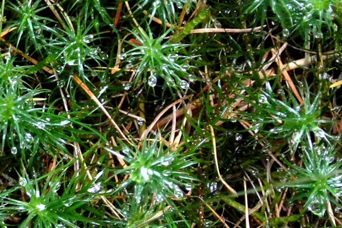 Moss with raindrops