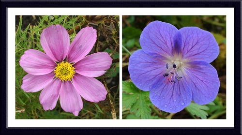 cosmos and geranium