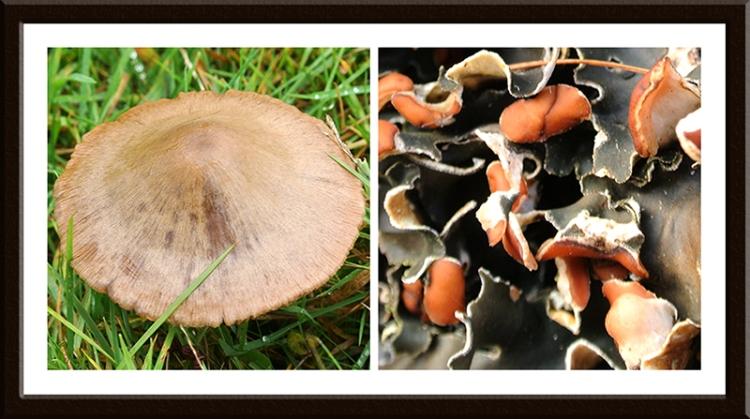 fungus and peltigera