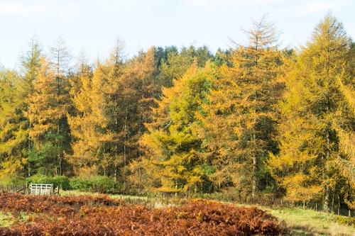 larches in autumn