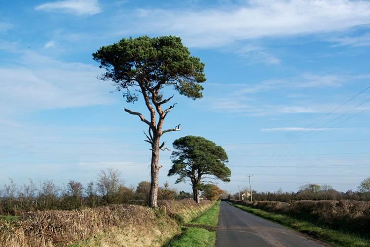 Todhills pine