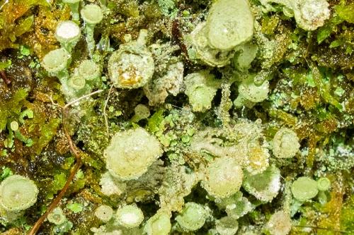 pixie cup lichen
