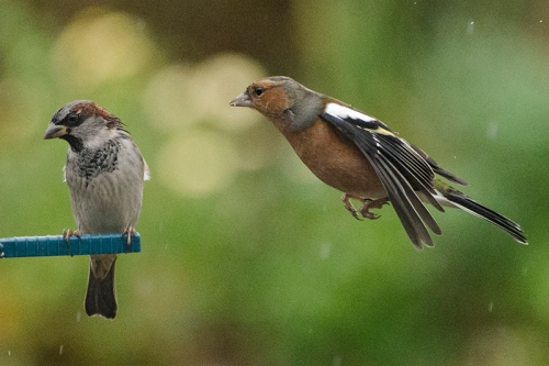 flying chaffinch and sparrow