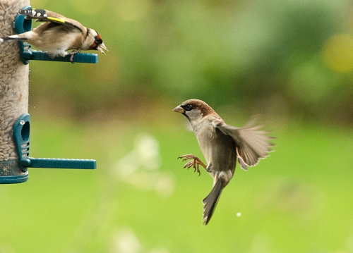 goldfinch and sparrow