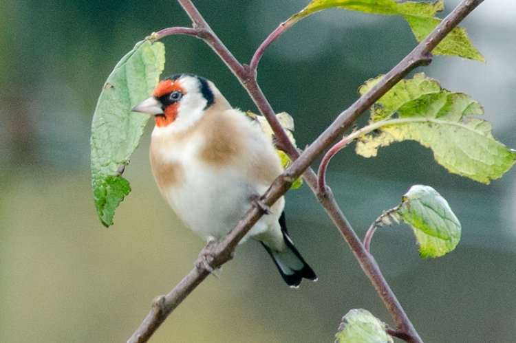 goldfinch in plum tree