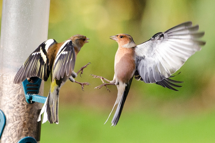 chaffinches sparring