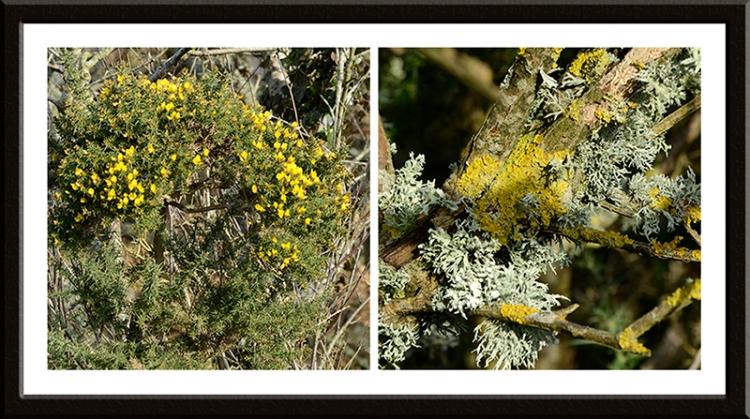 lichen and gorse