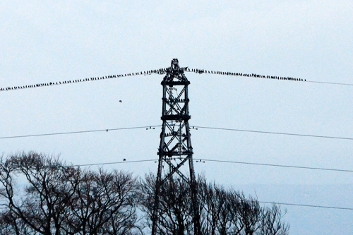 starlings at gretna Nov 14