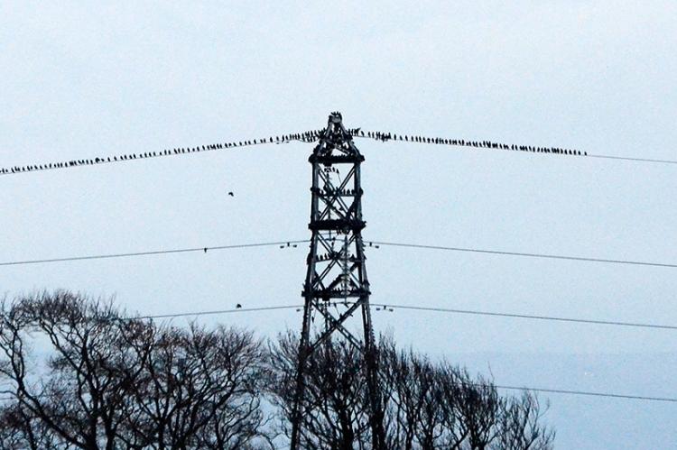 starlings at gretna Nov 14