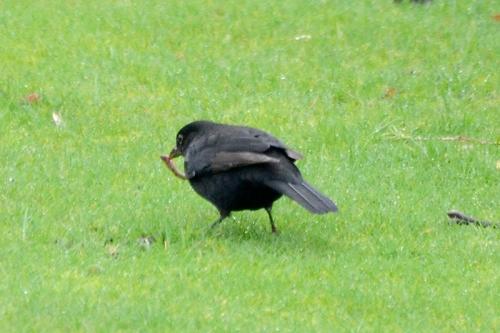 blackbird with worm