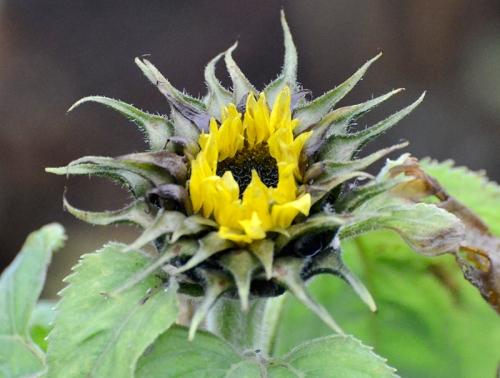 sunbflower