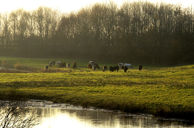 cattle at Longtown