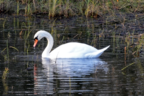 swan at Longtown